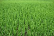 rijstvelden myanmar.jpg