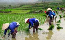 vn-rode dao rijst plantage vietnam.jpg