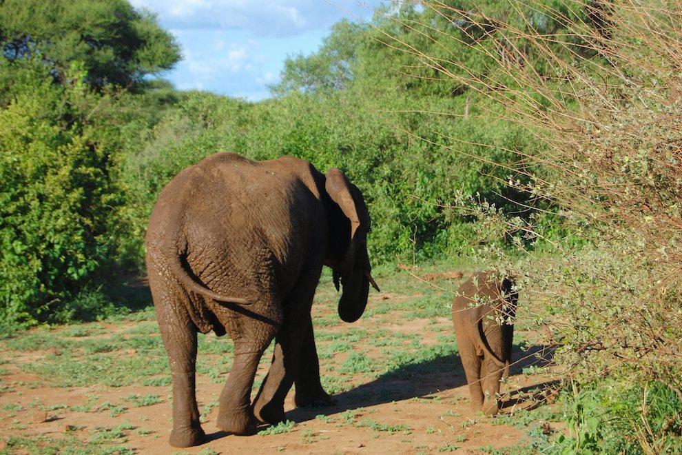 tz-olifant met jong van achter.jpg