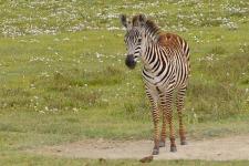 tz-zebra veulen.jpg
