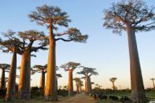 mg-baobab madagaskar.jpg