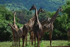 Tanzania giraffen